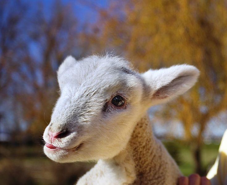 Lamb_happy