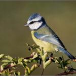 ptaki_Kent_obserwacja_migracja