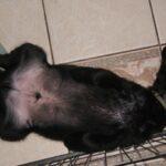 Oliwek – LUBELSKI TYTOŃ z BasiSfory, wiek około 6 tygodni